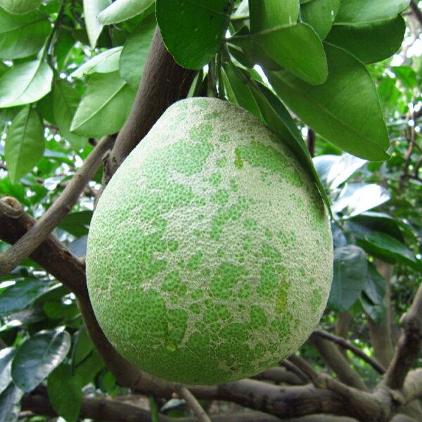 [現量格外品最佳的自用首選]麻豆老欉文旦柚-6KG(10~12顆)