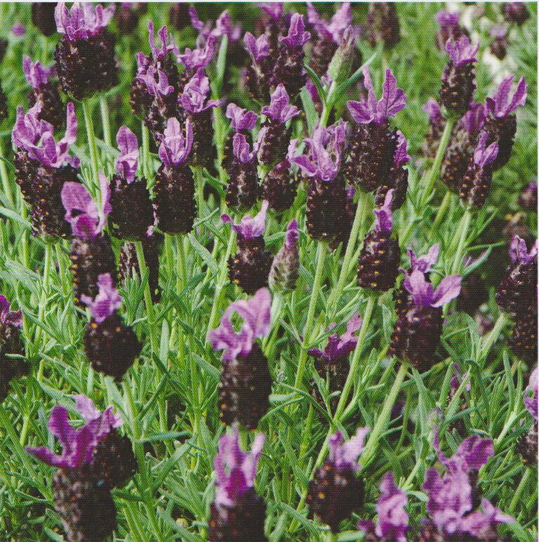 ~尋花趣~西班牙薰衣草^(法國薰衣草,頭狀薰衣草^) 花卉種子 約50粒 包 花語:等待愛