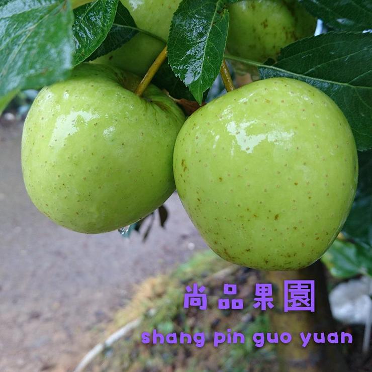 ~ 8月底~9月中~金冠蘋果(青蘋果)10斤裝   尚品果園