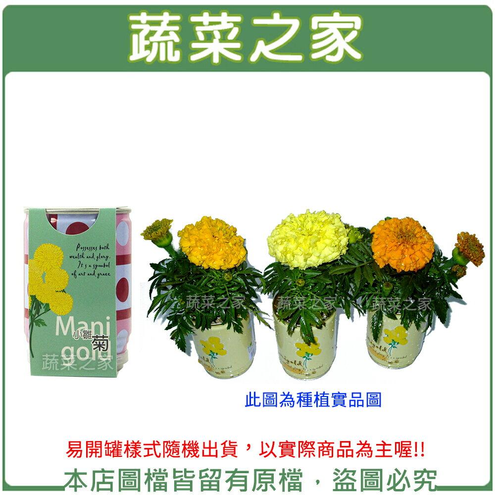 【蔬菜之家004-E09】iPlant易開罐花卉-萬壽菊(小雛菊)
