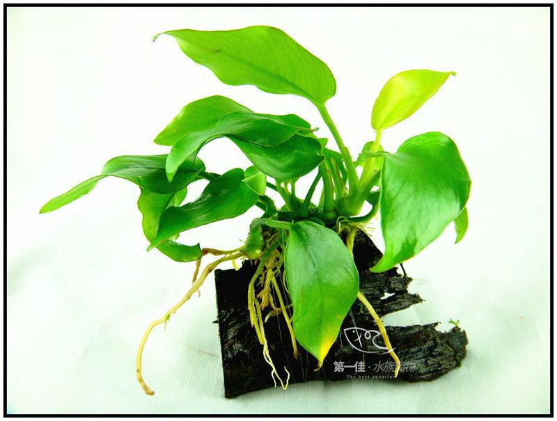 第一佳 水族寵物 真水草 ~陰性水草  隨便種都長的活的草種C02不用也可   黃金小榕