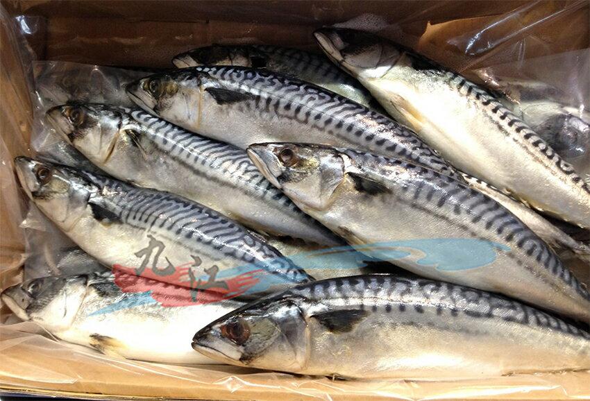 【九江】挪威鯖魚(整尾)---〈整箱下單區〉15~16尾 /箱---✦