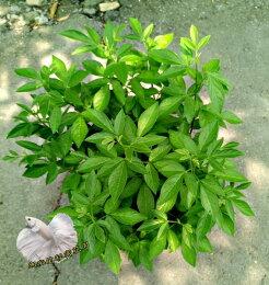室外植物 驅邪 洗澡 泡澡 搭配 芙蓉 一起