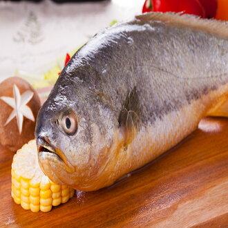 現撈黃魚一尾